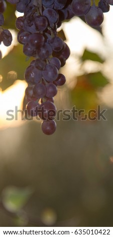 Bunch of grapes close-up
