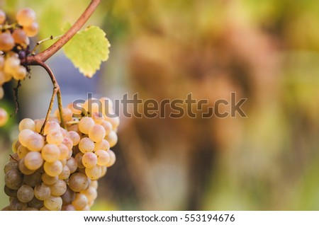 Bunch of grapes ready to be harvested in the Italian vineyards.