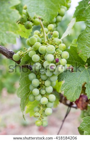 Bunch of green grapes on the vine - stock photo