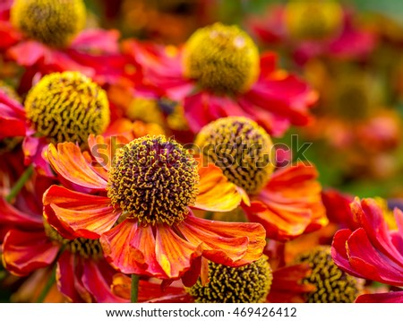 Bunch of Helenium autumnale flowers growing in the garden