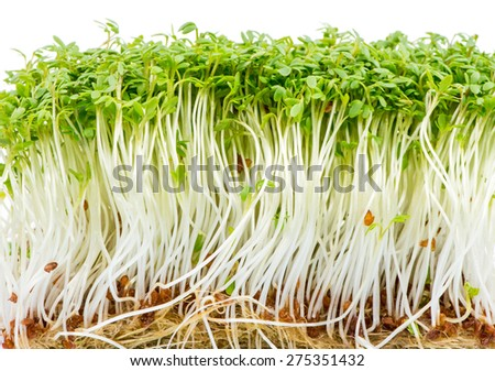 Bunch of isolated watercress sprouts - stock photo