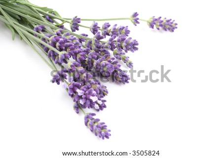 bunch of lavender flowers isolated on white - stock photo