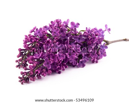 Bunch of lilac on white background.