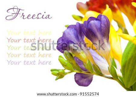 bunch of lovely freesia on white background with the place for your text - stock photo