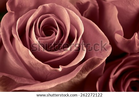 Bunch of marsala colored rose flowers close-up as background. Soft focus, shallow DOF. Filtered image. - stock photo