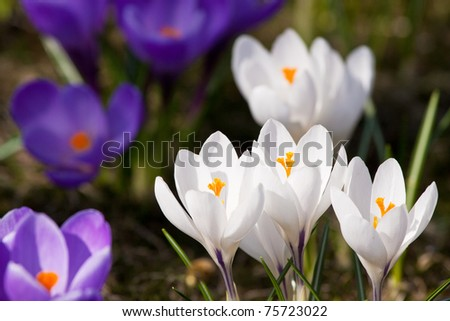 Bunch of mixed colours crocuse in the grass - stock photo