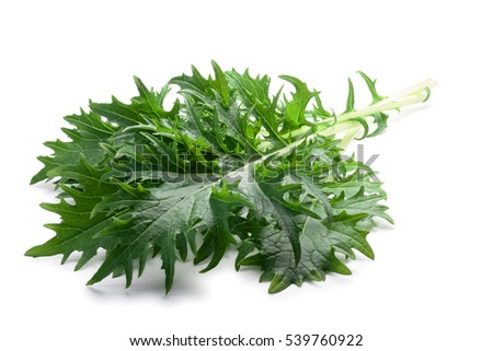 Bunch of Mizuna (Japanese mustard) leafy green salad. Brassica rapa nipponsinica cultivated variety. Clipping paths, shadow separated