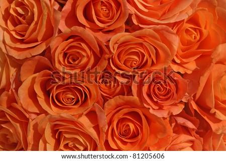 bunch of orange roses - stock photo