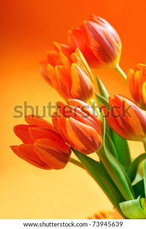 bunch of orange tulips on background in the same color - stock photo