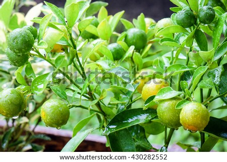 Bunch of oranges hanging on a tree, rain drops on leaves - stock photo