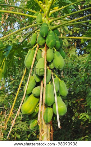 Bunch of papayas hanging from the tree - stock photo