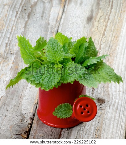 Bunch of Perfect Fresh Green Lemon Balm Leafs in Red Watering Can isolated on Rustic Wooden background - stock photo
