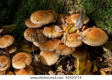 Bunch of pholiota fungi grows in sun - stock photo