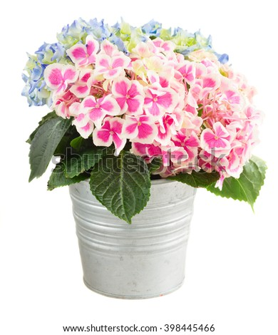 bunch of pink and blue hortensia flowers in metal pot isolated on white background - stock photo