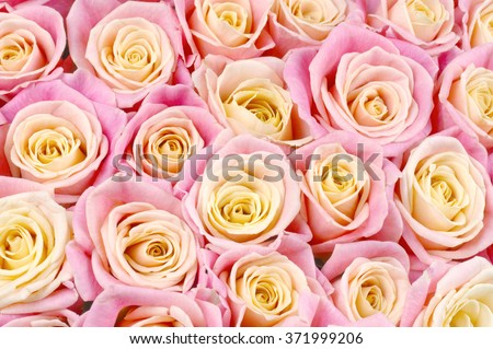 Bunch of pink and yellow bicolored rose flowers close-up as background. - stock photo