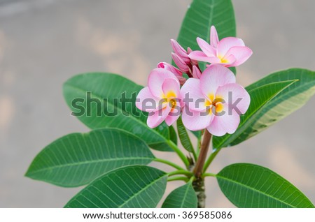 Bunch of pink Frangipani, Frangipanni,  or plumeria tropical flowers - stock photo