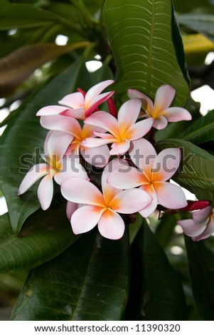 Bunch of Pink Plumerias clustered on a tree branch - stock photo