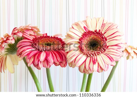 Bunch of pink striped gerbera daisy flowers, against a striped wallpaper background. Close up detail of the flower texture. - stock photo