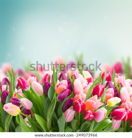 bunch of pink tulips on blue sky background - stock photo