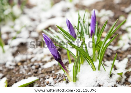 Bunch of purple crocuses under snow. Natural spring background with space for text