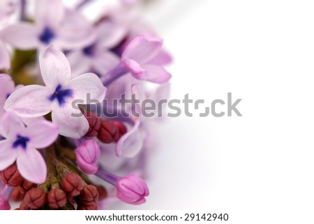 Bunch of Purple Flowers Isolated on White Close-ups