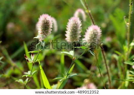Bunch of rabbitfoot clover flowers
