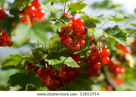 bunch of red berry - stock photo