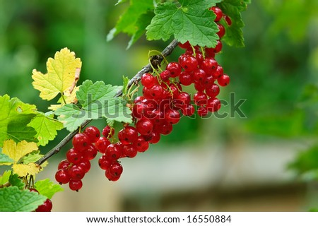 Bunch of red currant and green leaves - stock photo