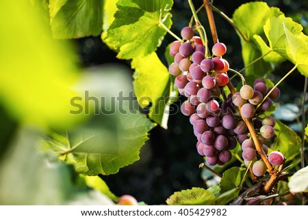 bunch of red fresh sweet grapes hanging on a branch - stock photo