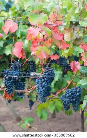 Bunch of red wine grape Bibor kadarka (Purple kadarka) in vineyard ready to harvest. Bibor kadarka is a Hungarian bred red wine grapes. Vertical image - stock photo