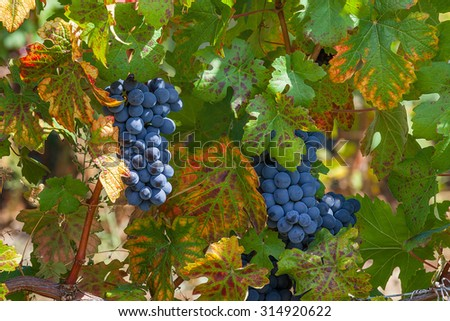 Bunch of ripe grapes among green leaves in vineyards of Piedmont, Northern Italy. - stock photo