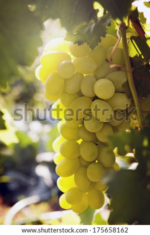 bunch of ripe grapes in the sun - stock photo