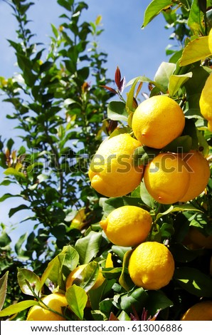 Bunch of ripe lemons on tree