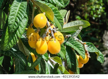 Bunch of ripe loquats in the tree. - stock photo