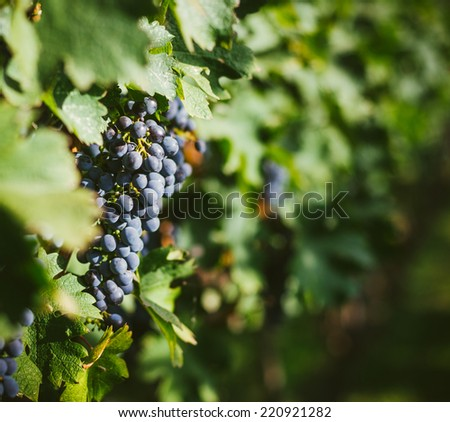 Bunch of ripe red wine grapes on the vine - stock photo