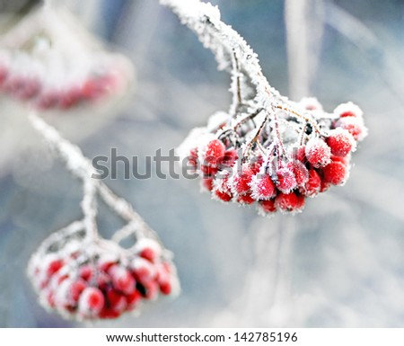 Bunch of rowan berries with ice crystals on blue cold sky - stock photo