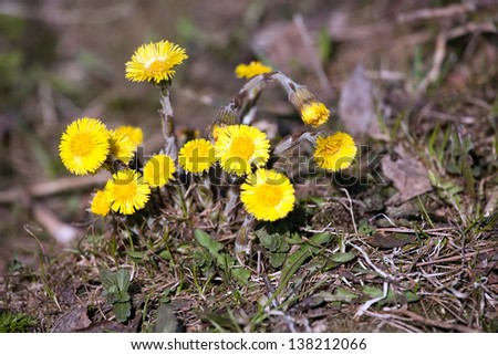 bunch of spring bright yellow coltsfoot flowers closeup view - stock photo