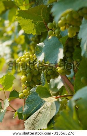 Bunch of tasty wine at vineyard in Czech Republic - stock photo