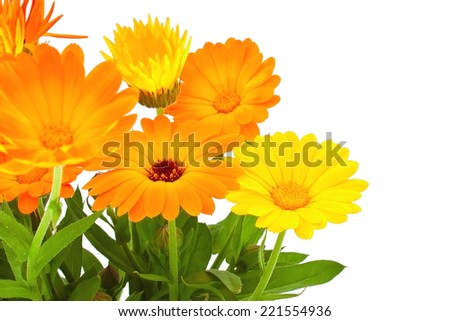 Bunch of the autumn calendula flowers on white background - stock photo