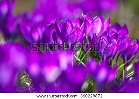 Bunch of violet crocuses in the grass - stock photo