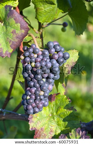 Bunch of violet grapes on grapevine in vineyard. - stock photo