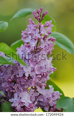 Bunch of violet  lilac flower in the garden