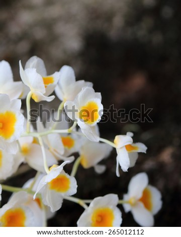 Bunch of White Pale Honey fragrant orchid ( Dendrobium lindleyi Steud) on large tree in natural forest; against natural sunlight - stock photo