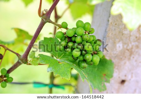 Bunch of young green grapes in the vineyard