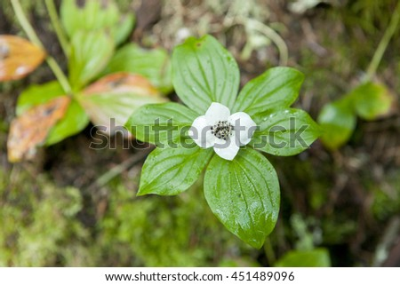 Bunchberry flower in Washington.