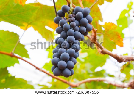 Bunche of blue grapes on vine - stock photo