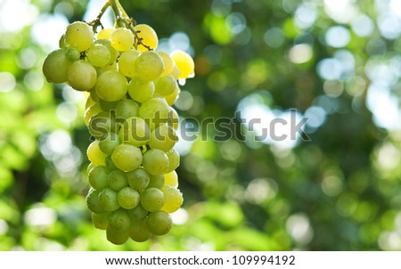 Bunche of green grapes on vine at background - stock photo