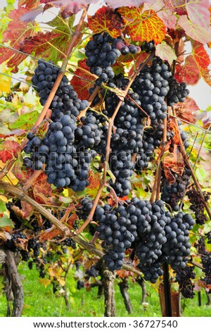 Bunches of black grapes ripening on a vine in Switzerland in autumn. - stock photo