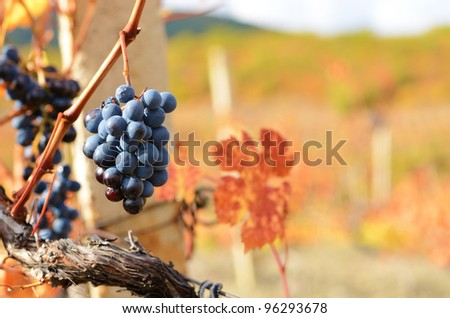 Bunches of blue grapes on vine at sunset time - stock photo
