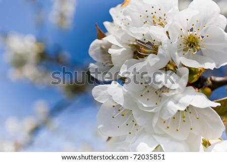 Bunches of cherry blossom.blossoms blooming against a vivid blue sky. - stock photo
